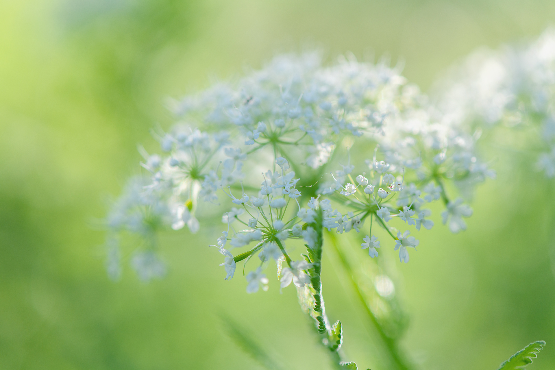 Sweet cicely in evening light