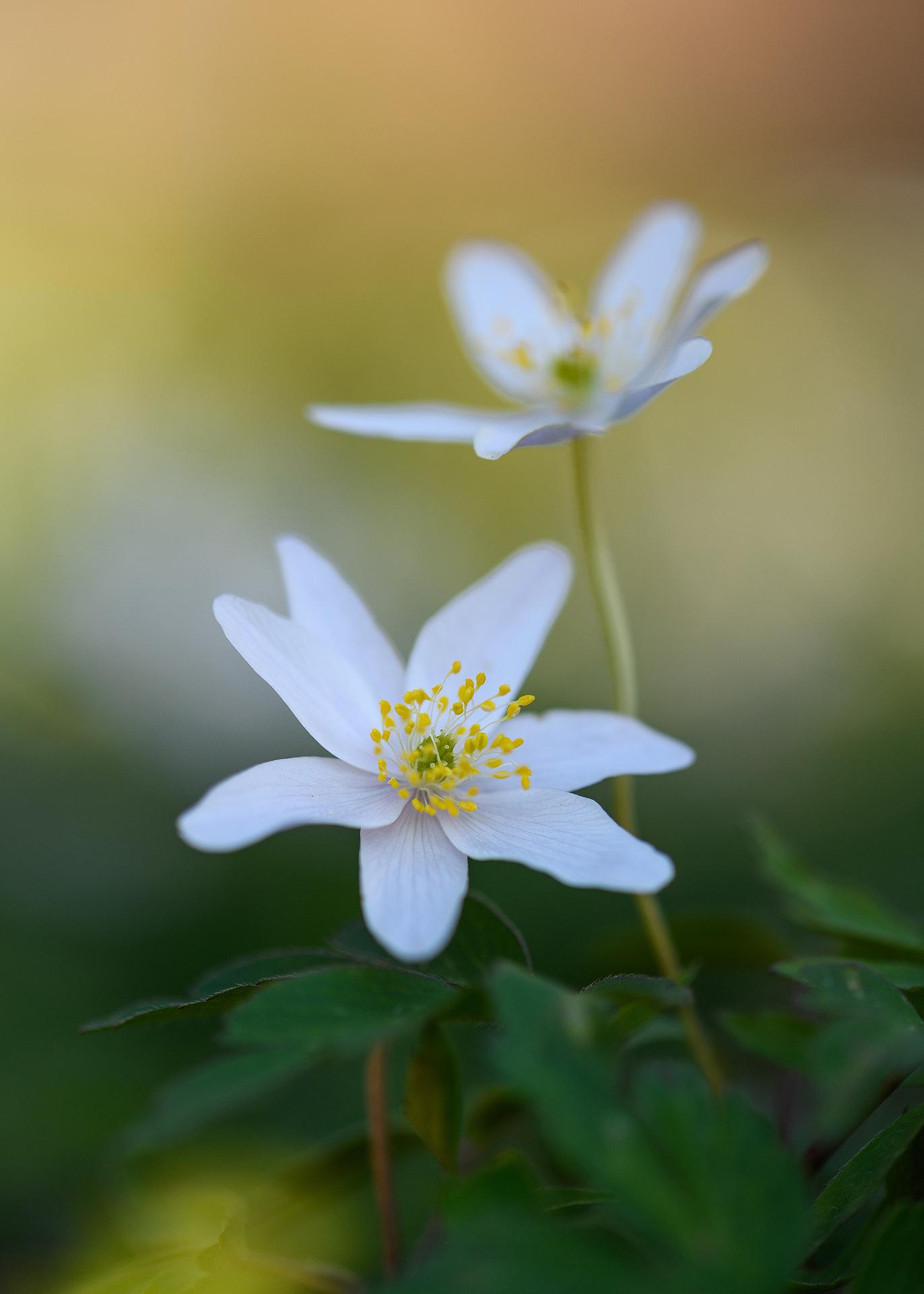 Anemone Still Life