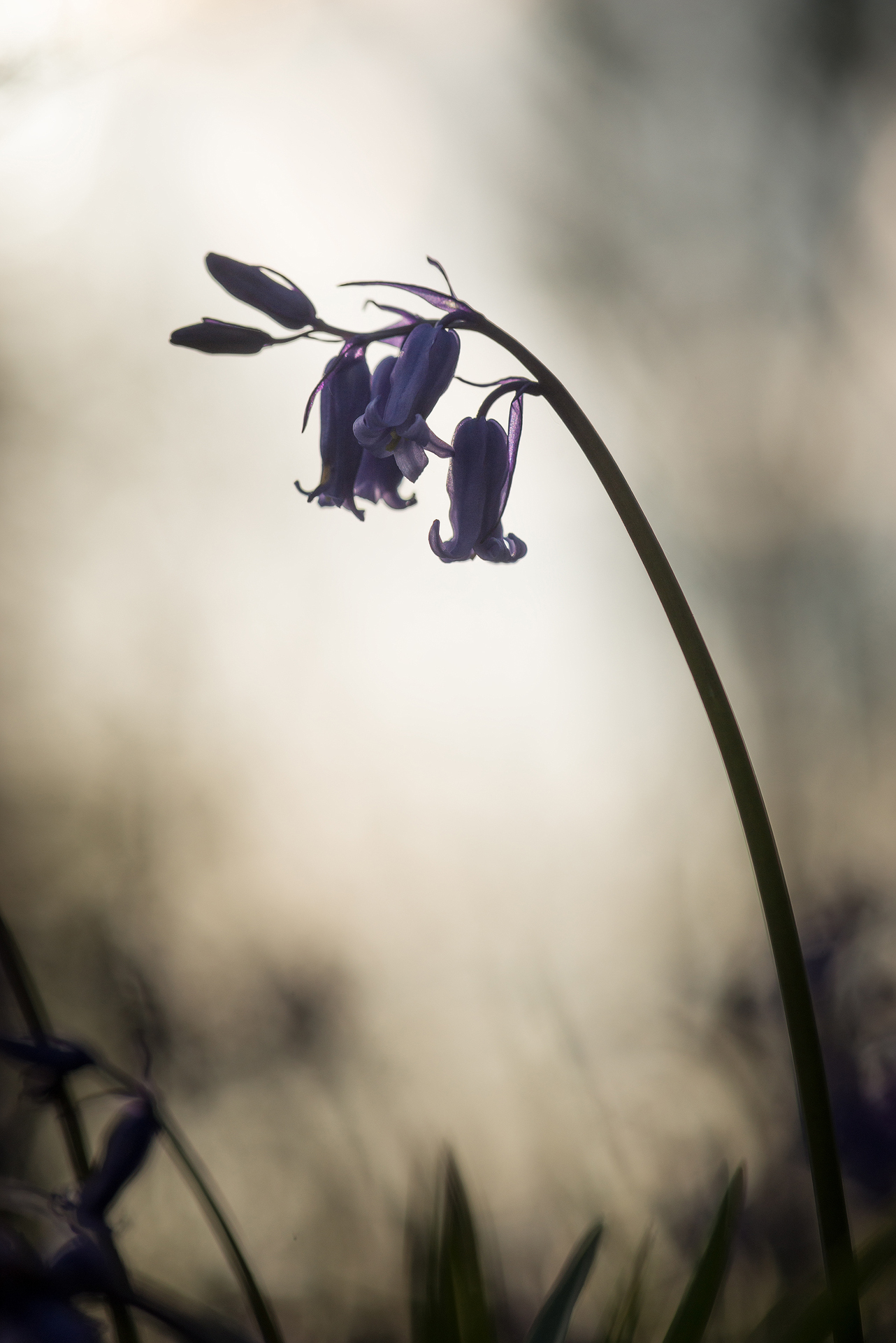 Evening Bluebell