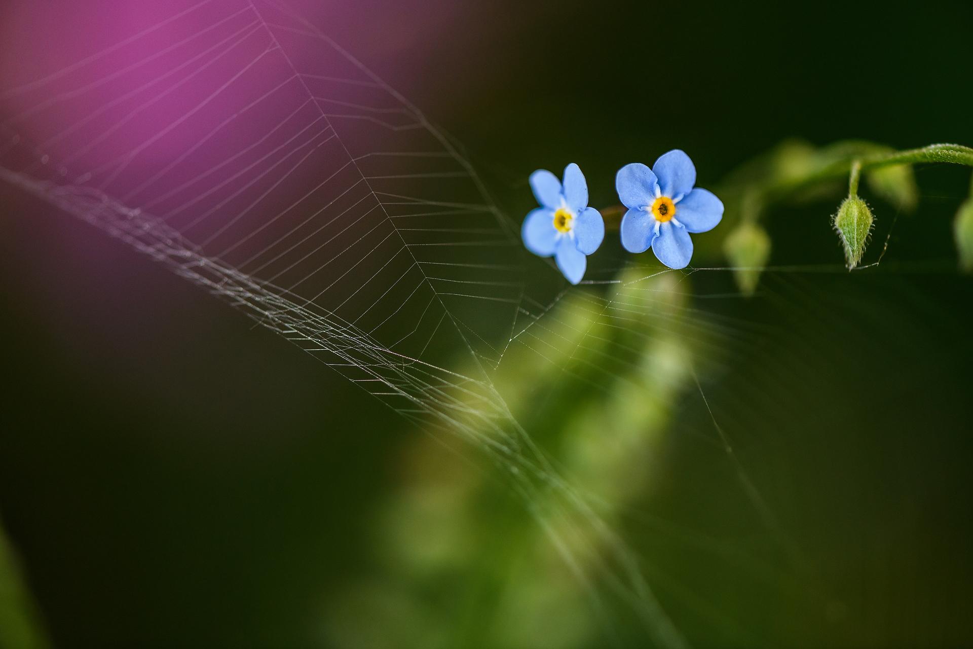 Forget-me-not with cobweb