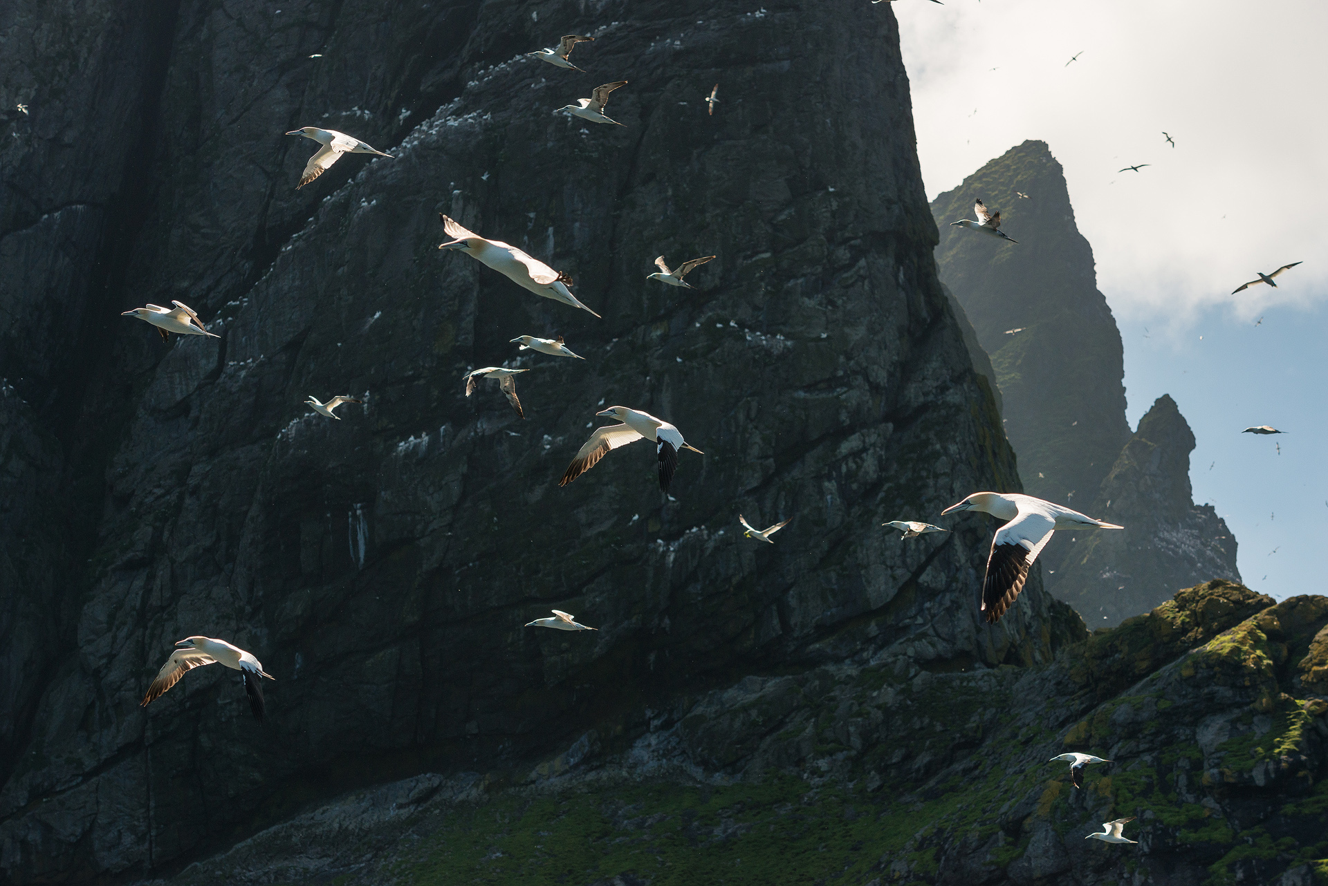 Gannets on the wing, Boreray, St. Kilda