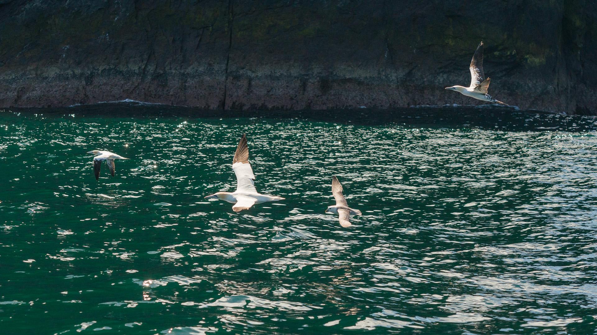 Gliding Gannets and Fulmar