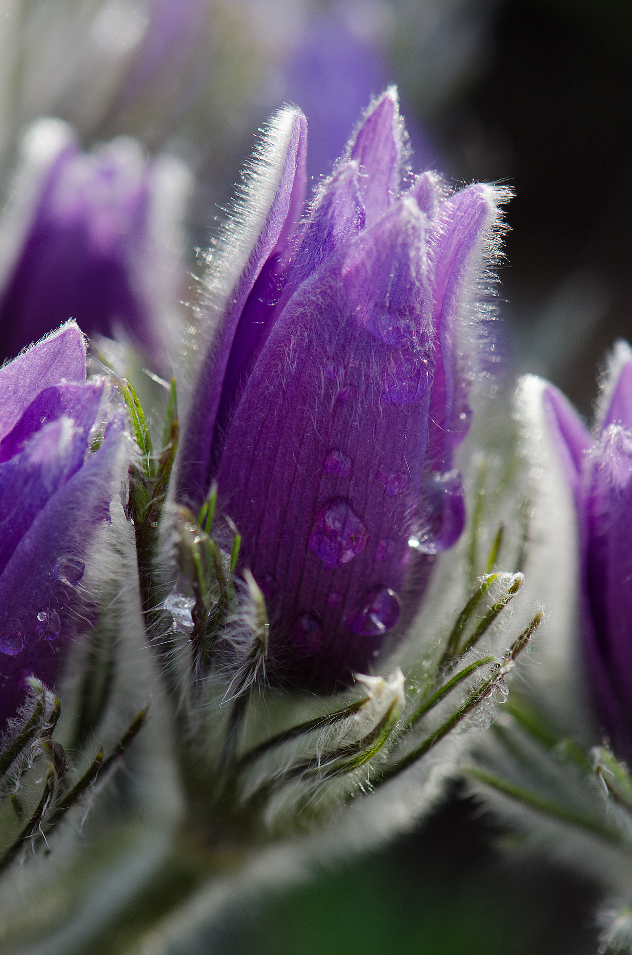 Pulsatilla bud after rain