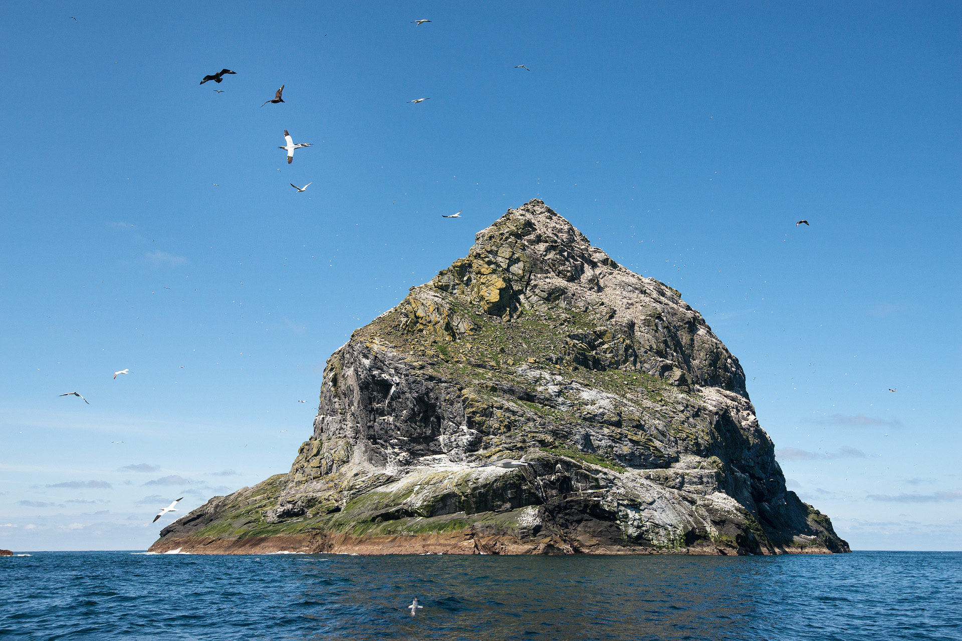 Skuas attacking Gannet, Stac an Armin, St. Kilda
