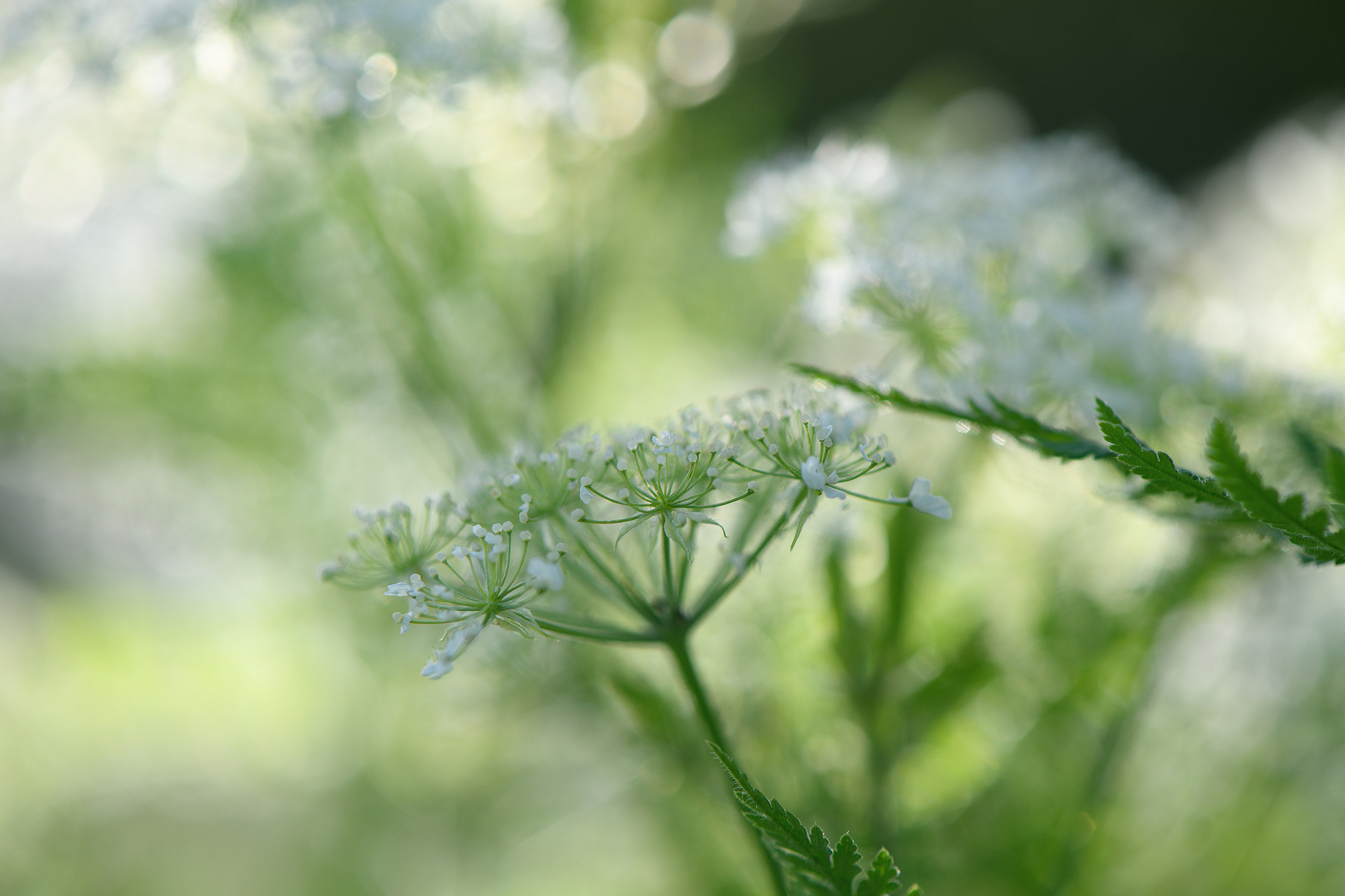 Soft Sweet Cicely