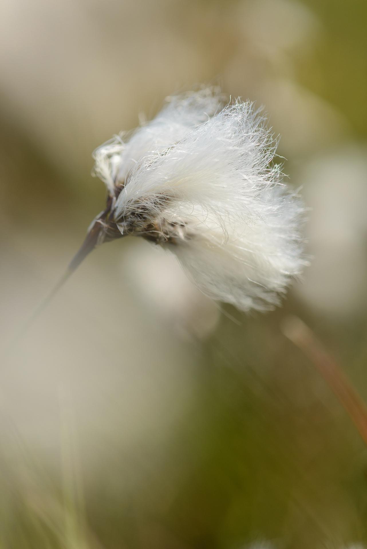 Summery Bog Cotton