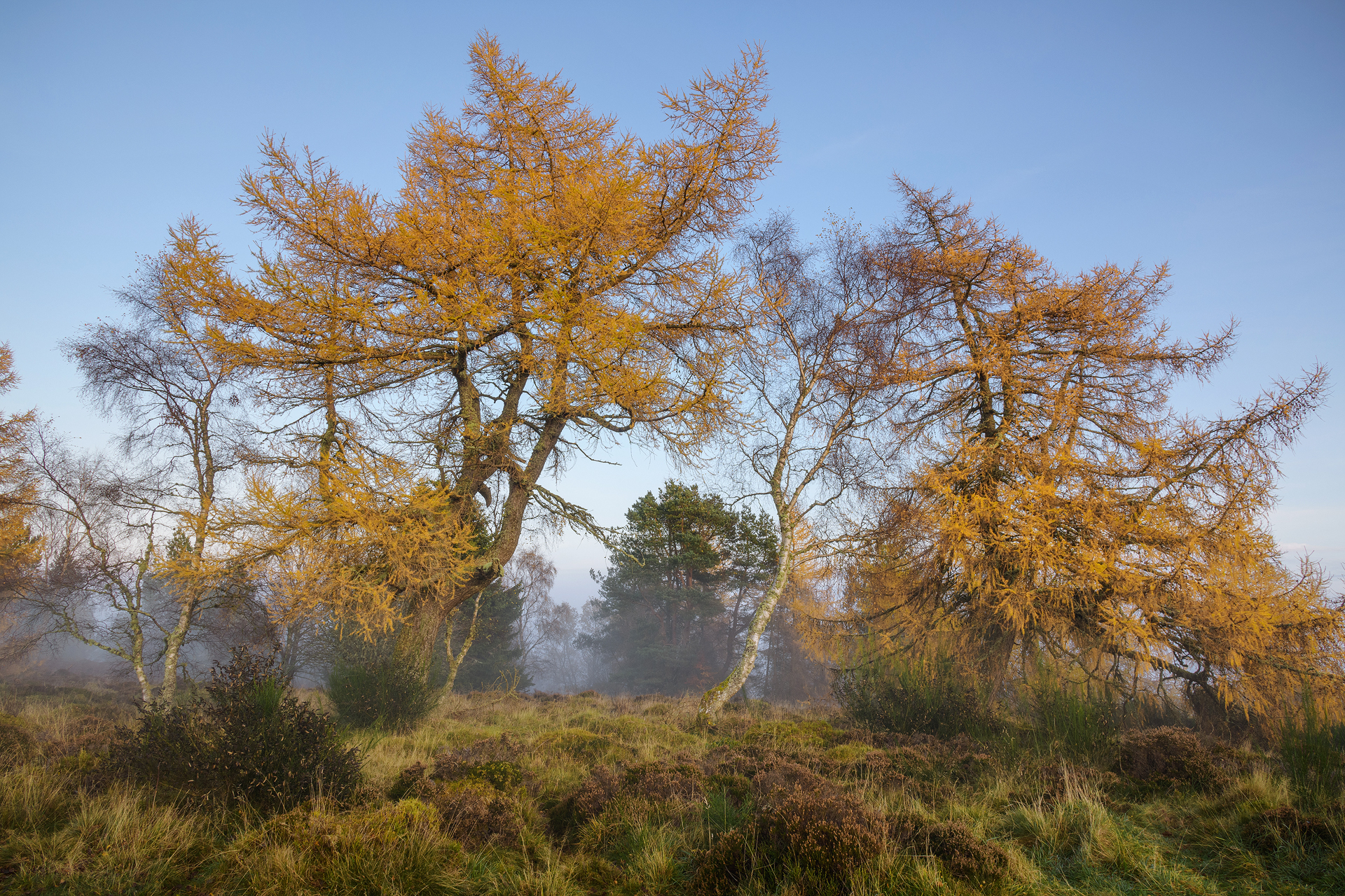 Autumn Dance of the Larches, the Knock, Crieff