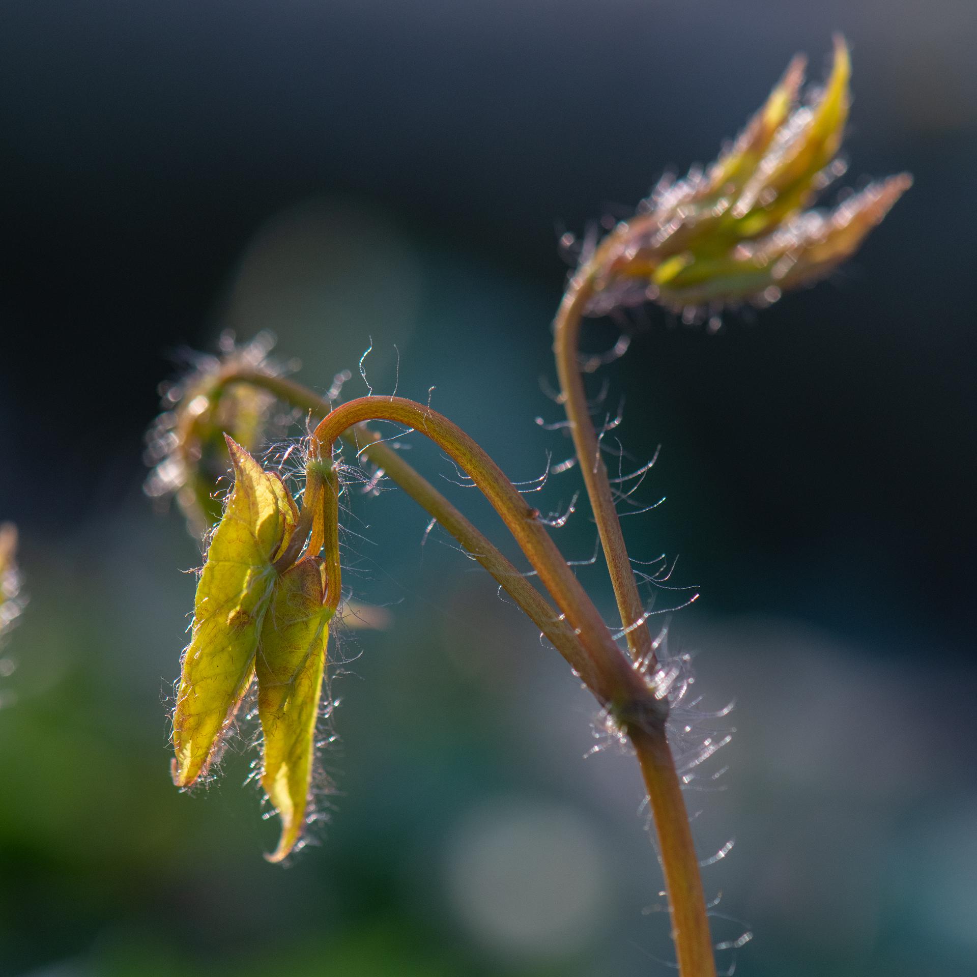 Backlit unfolding Epimedium Leaves