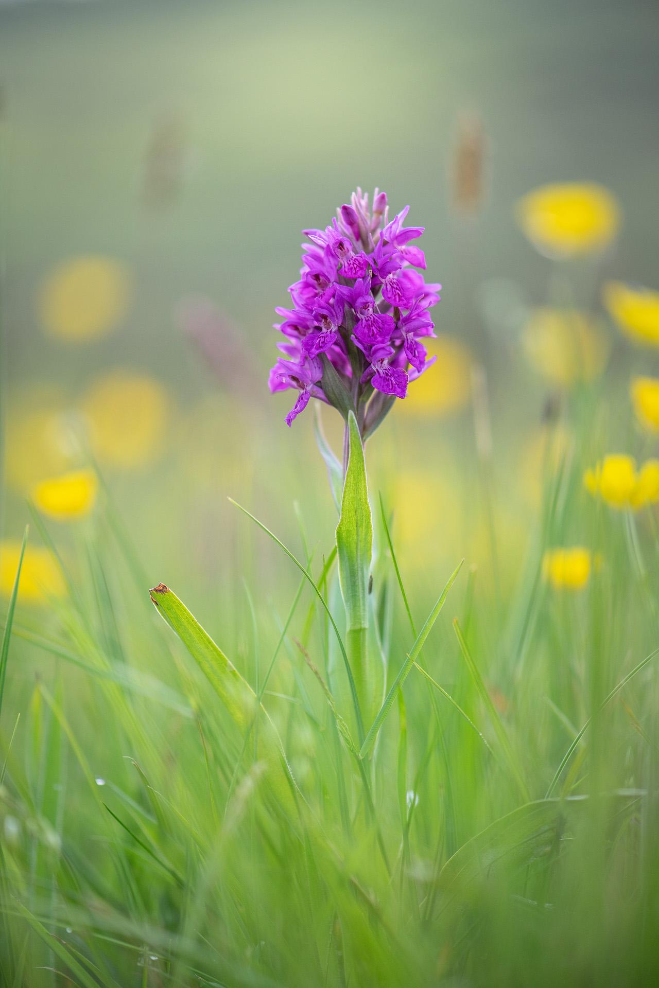 Common Heath Orchid