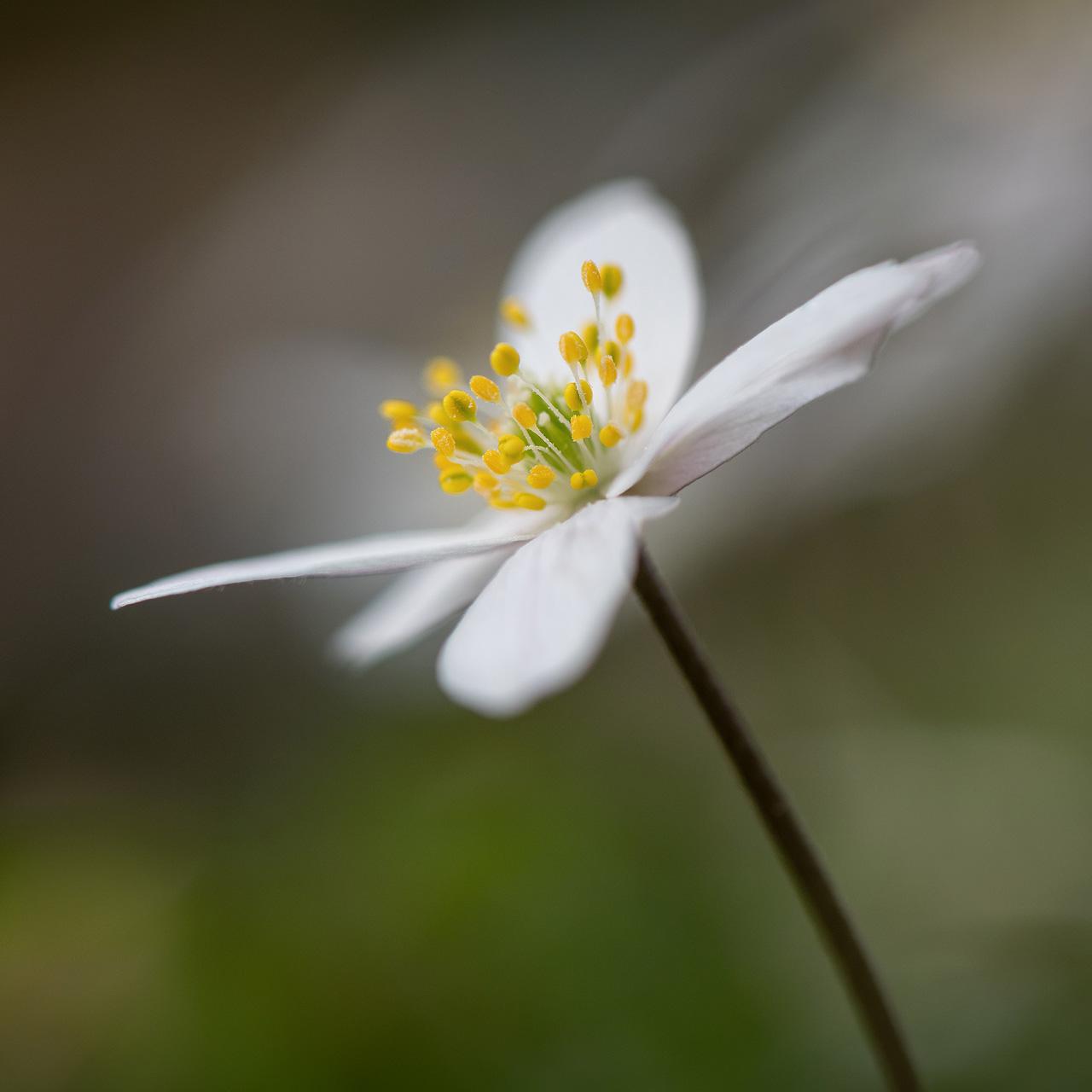 Spring Wood Anemone