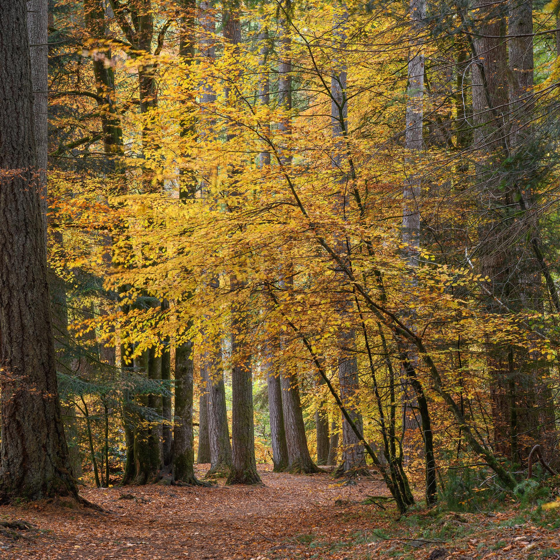 Autumn Gold, Hermitage (Square)