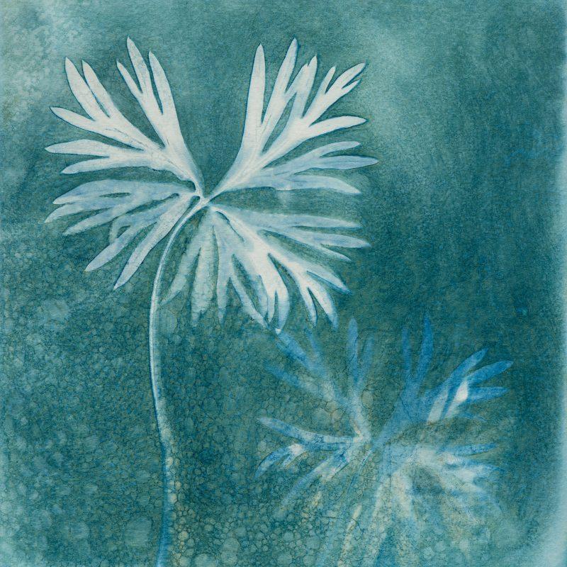 Aconitum napellus - magical Monkshood leaves - Cyanotype