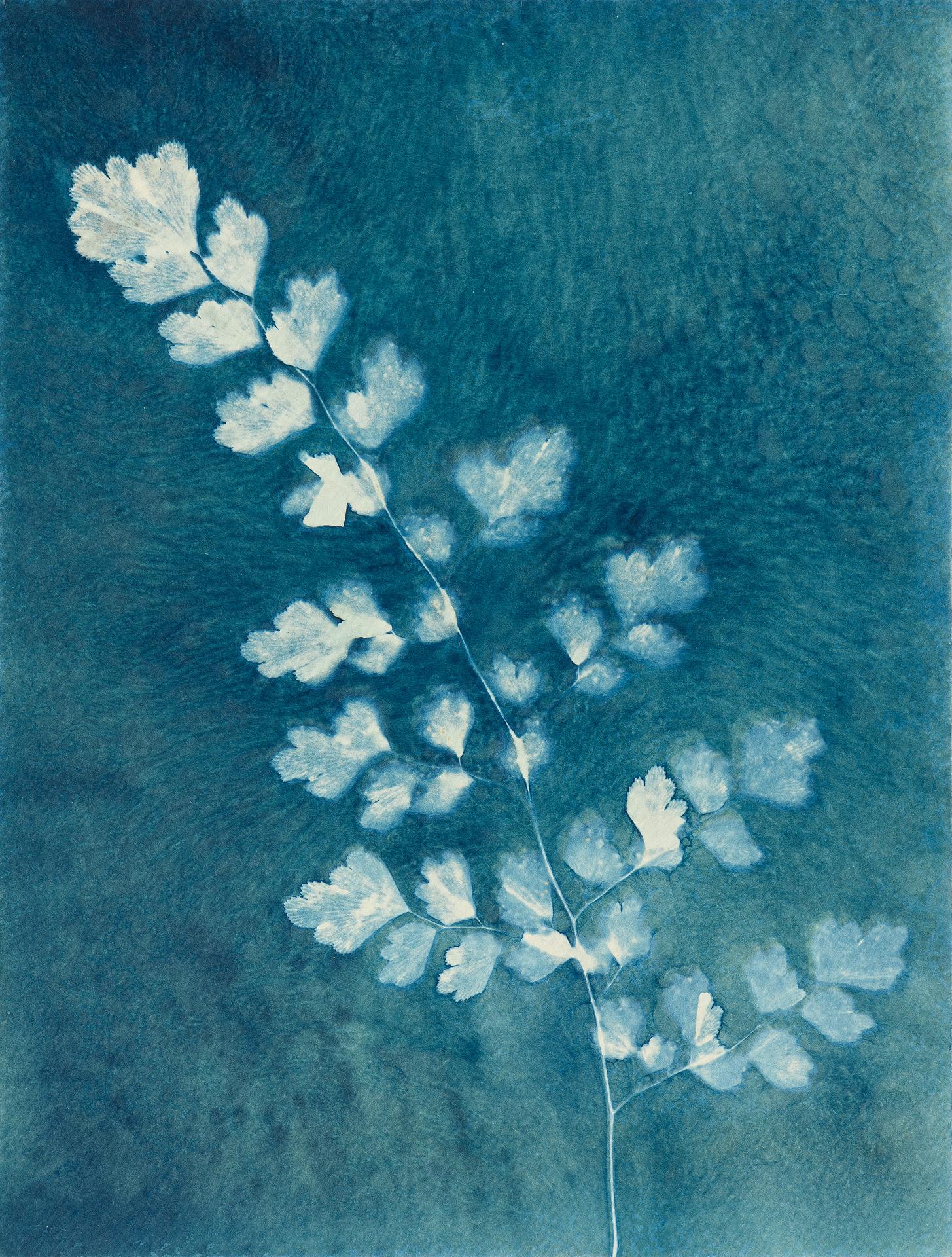 Adiantum aethiopicum – Maidenhair fern