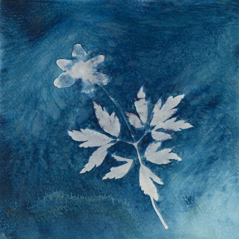 Anemone nemorosa - dark - cyanotype