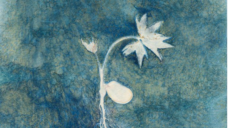 Paeonia ludlowii seedling