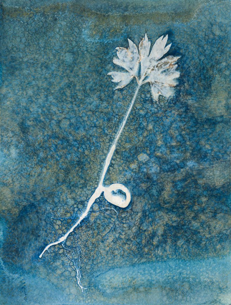 Paeonia ludlowii - tree peony seedling portrait
