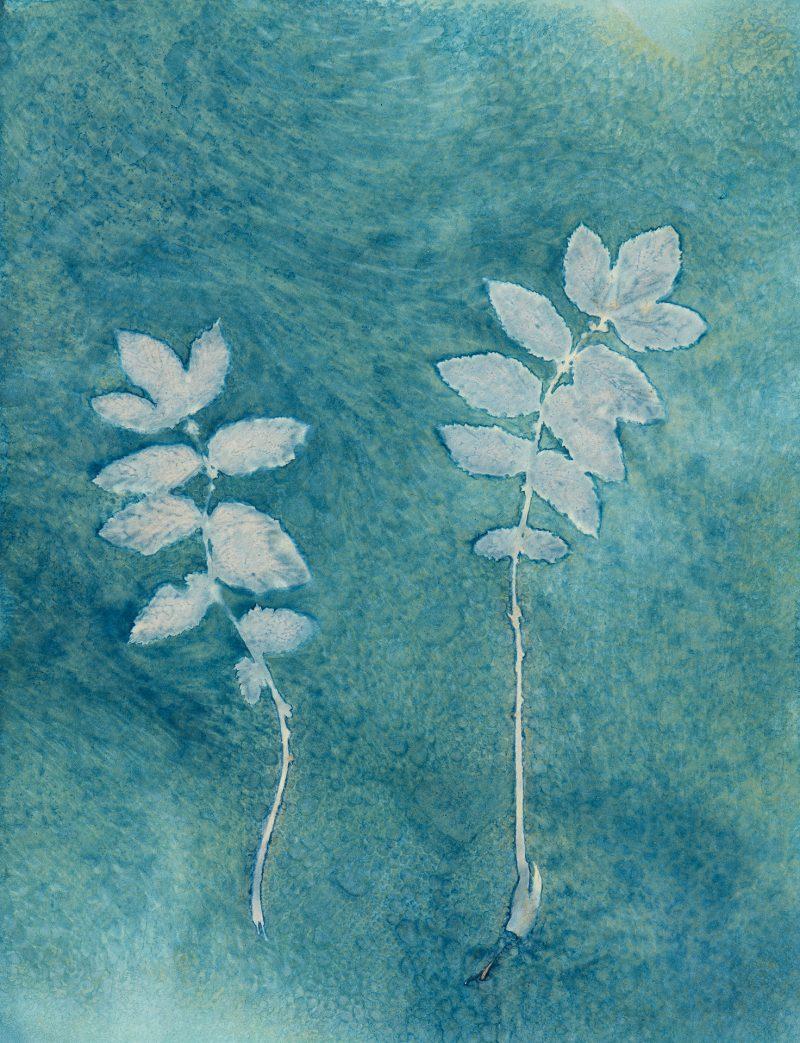 Potentilla leaves - Cyanotype