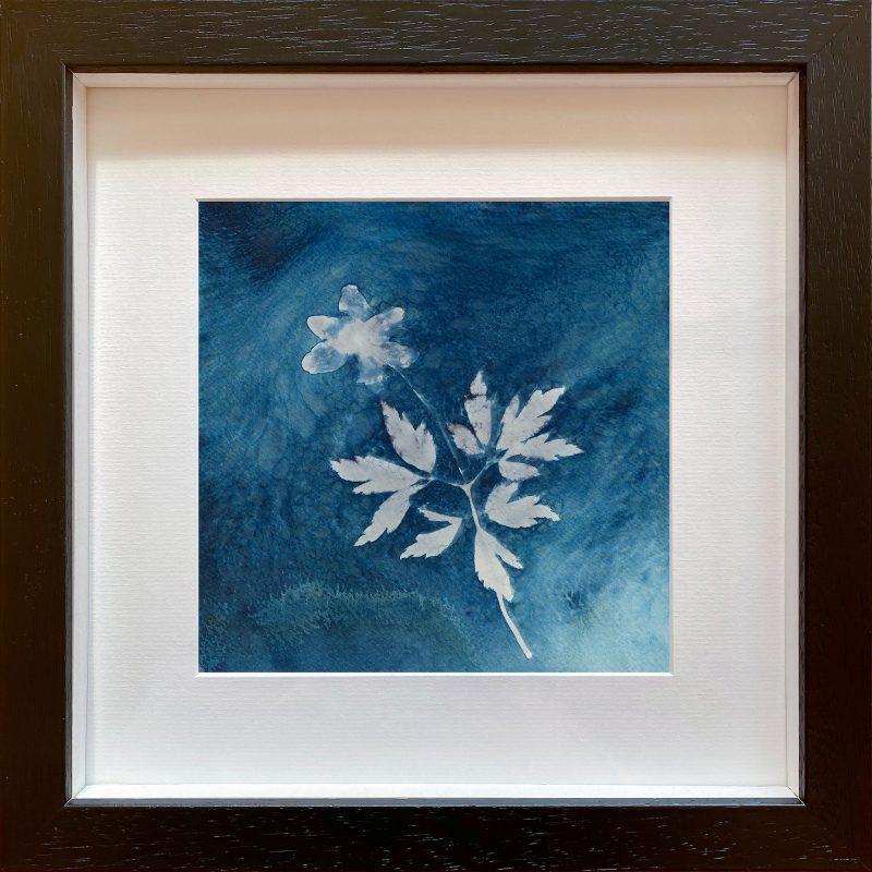 Anemone nemorosa - dusk - cyanotypes - frame black