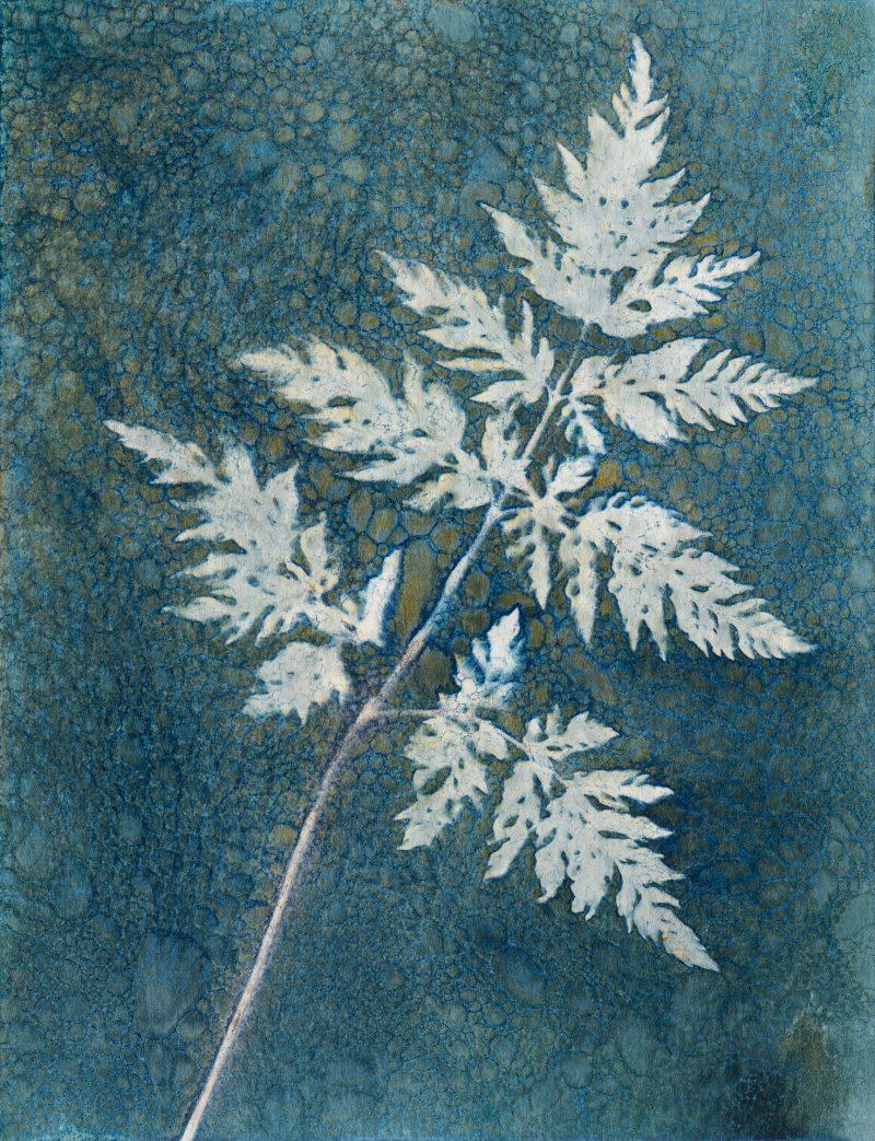 Anthriscus sylvestris - Cow parsley leaf