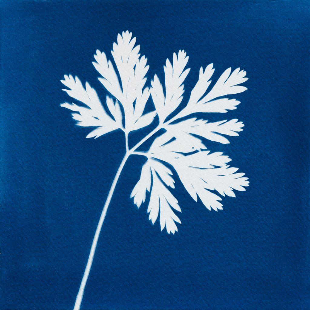 Dicentra formosa leaf cyanotype