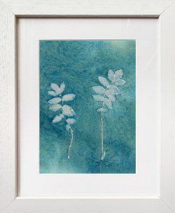 Sanguisorba officinalis – Cyanotype Original