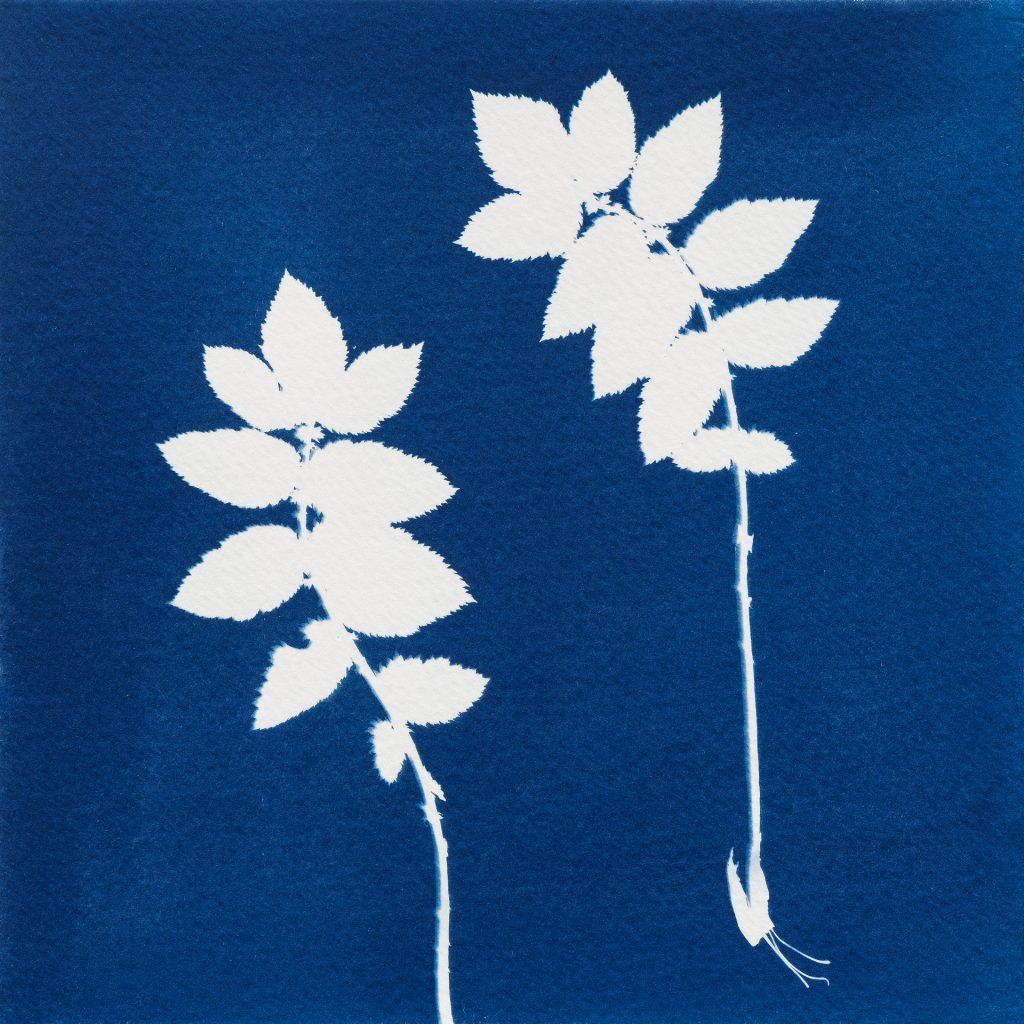 Spring leaves Cyanotype